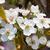 armut · ağaç · beyaz · çiçekler · çiçek · yeşil · bahar - stok fotoğraf © kurhan