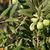 olives on its tree branch stock photo © kuzeytac