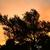 olive tree silhouette at sunset stock photo © kuzeytac