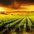 wijngaard · zonsopgang · hemel · voorjaar · gras · wijn - stockfoto © kwest