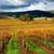 autumn vineyard stock photo © kwest