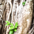 young sprout growing through roots of old tree stock photo © kyolshin