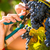 woman picking grapes with shear stock photo © kzenon
