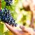 cultuur · wijnstokken · druiven · voedsel · natuur · bladeren - stockfoto © kzenon