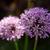 чеснока · цветок · весны · природы · саду - Сток-фото © laciatek