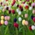 Field of tulips stock photo © ldambies