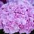 ピンク · 咲く · マクロ · クローズアップ · ショット - ストックフォト © leeavison