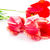 beautiful bouquet of red tulips isolated stock photo © len44ik