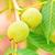 green walnuts growing on a tree stock photo © len44ik