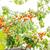 croissant · branche · feuilles · vertes · alimentaire · jardin - photo stock © Len44ik
