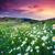százszorszép · virágmező · naplemente · friss · napos · tavasz - stock fotó © leonidtit