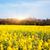 elképesztő · citromsárga · mező · kék · ég · felhők · vidék - stock fotó © leonidtit