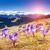 krokus · lentebloemen · geïsoleerd · witte · natuur · achtergrond - stockfoto © leonidtit