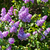 lilac stock photo © Leonidtit