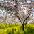 verger · de · pommiers · printemps · fleur · feuille · jardin · été - photo stock © leonidtit