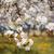 pommier · floraison · pomme · arbres · printemps · Ukraine - photo stock © Leonidtit