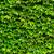 green ivy leaves wall stock photo © leungchopan