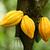 cacau · árvore · orgânico · fruto · natureza · comida - foto stock © leungchopan