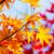 Maple leave in autumn stock photo © leungchopan