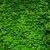green ivy wall stock photo © leungchopan