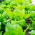 crescente · alface · jardim · chuva · legumes · frescos · primavera - foto stock © leungchopan