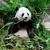 óriás · panda · eszik · bambusz · fa · levél - stock fotó © leungchopan