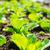 салата · завода · области · текстуры · природы · саду - Сток-фото © leungchopan