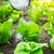fertilizer of lettuce field stock photo © leungchopan