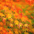 Yellow and red maple leave in autumn  stock photo © leungchopan