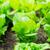 салата · саженцы · области · лист · саду · здоровья - Сток-фото © leungchopan