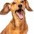 cabelo · curto · cachorro · bassê · retrato · branco · feliz - foto stock © leungchopan