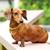 gelukkig · teckel · hond · park · gezicht · haren - stockfoto © leungchopan