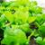 салата · области · природы · саду · зеленый · завода - Сток-фото © leungchopan
