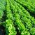 çiftçi · marul · organik · sebze · çiftçiler · eller - stok fotoğraf © leungchopan