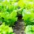 молодые · салата · области · весны · лист · саду - Сток-фото © leungchopan