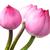 lótuszvirág · csoport · rózsaszín · vízcseppek · virág · zöld - stock fotó © leungchopan
