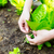 Agriculture of lettuce stock photo © leungchopan