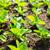 салата · весны · трава · природы · пейзаж - Сток-фото © leungchopan
