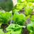 gübre · marul · alan · doğa · yaprak · sağlık - stok fotoğraf © leungchopan
