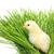 kabarık · civciv · yeşil · ot · Paskalya · bebek · çim - stok fotoğraf © leventegyori