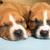 Cute amstaff puppy stock photo © leventegyori