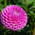 roze · dahlia · witte · cactus · plant - stockfoto © lianem
