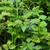 blueberry plant 07 stock photo © lianem