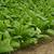 dohány · farm · mező · növények · Kentucky · tájkép - stock fotó © lianem