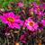 lila · dália · virág · rügy · izolált · közelkép - stock fotó © lianem