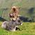 vaca · alpes · imagem · verde · prado · céu - foto stock © lianem