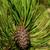 pino · ramoscello · macro · primo · piano · bud · verde - foto d'archivio © lianem