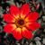 dahlia · bloem · Rood · Geel · tuin - stockfoto © lianem