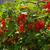 czerwony · porzeczka · Bush · lata · ogród · oddziału - zdjęcia stock © lianem