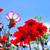 dahlia olympicfire and cosmea flower stock photo © lianem